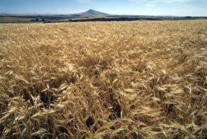 Plantación de cebada