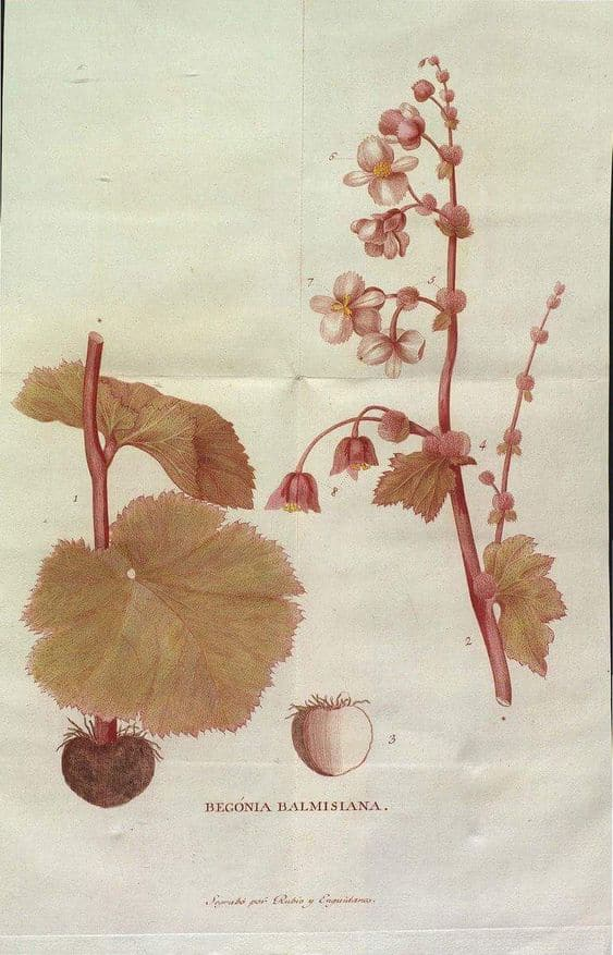 Lámina de una «Begonia balmisiana» de las que estudió Balmis en México, realizada por José Rubio (John Carter Drown Library).